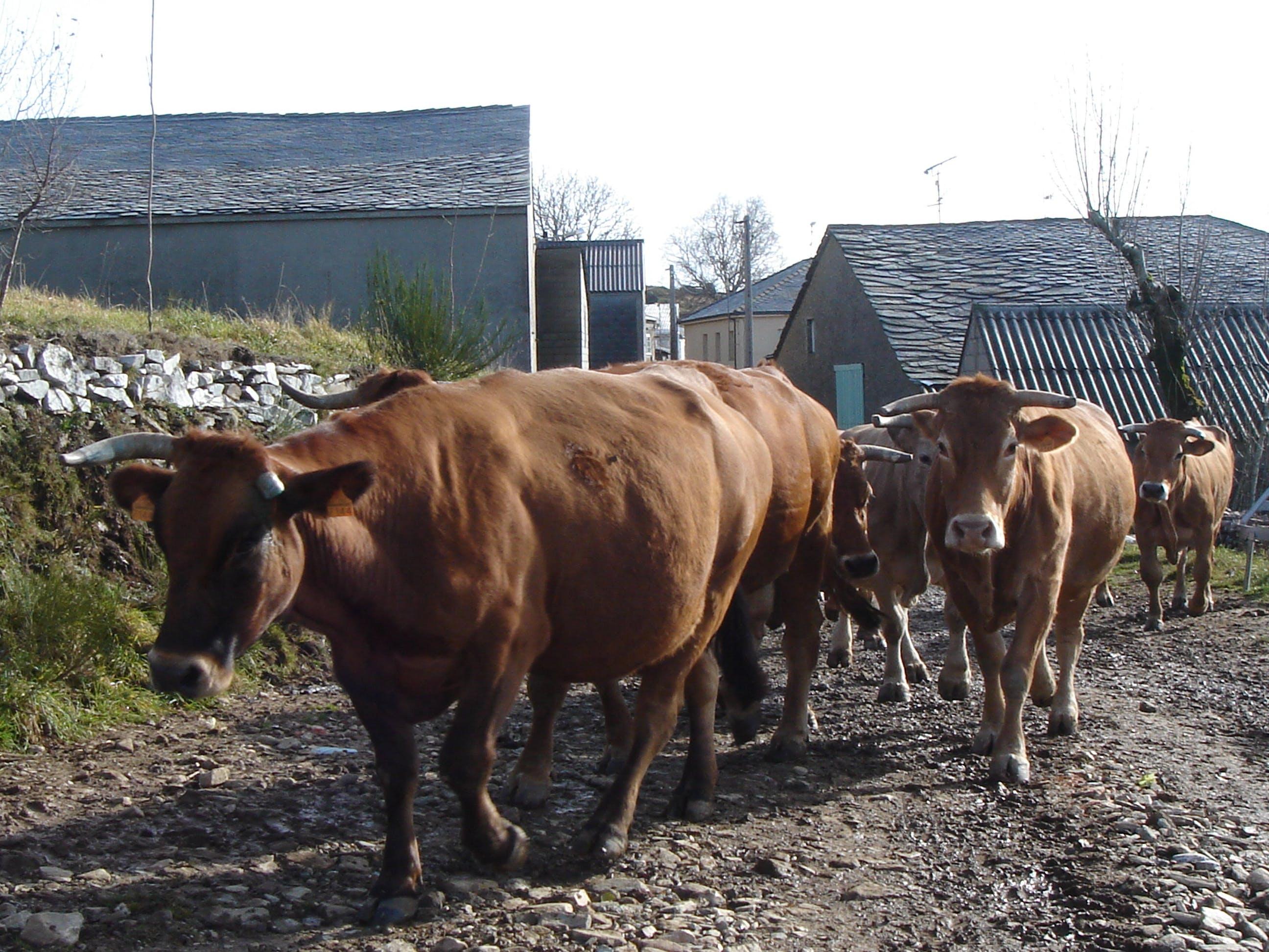 Free stock photo of Vacas