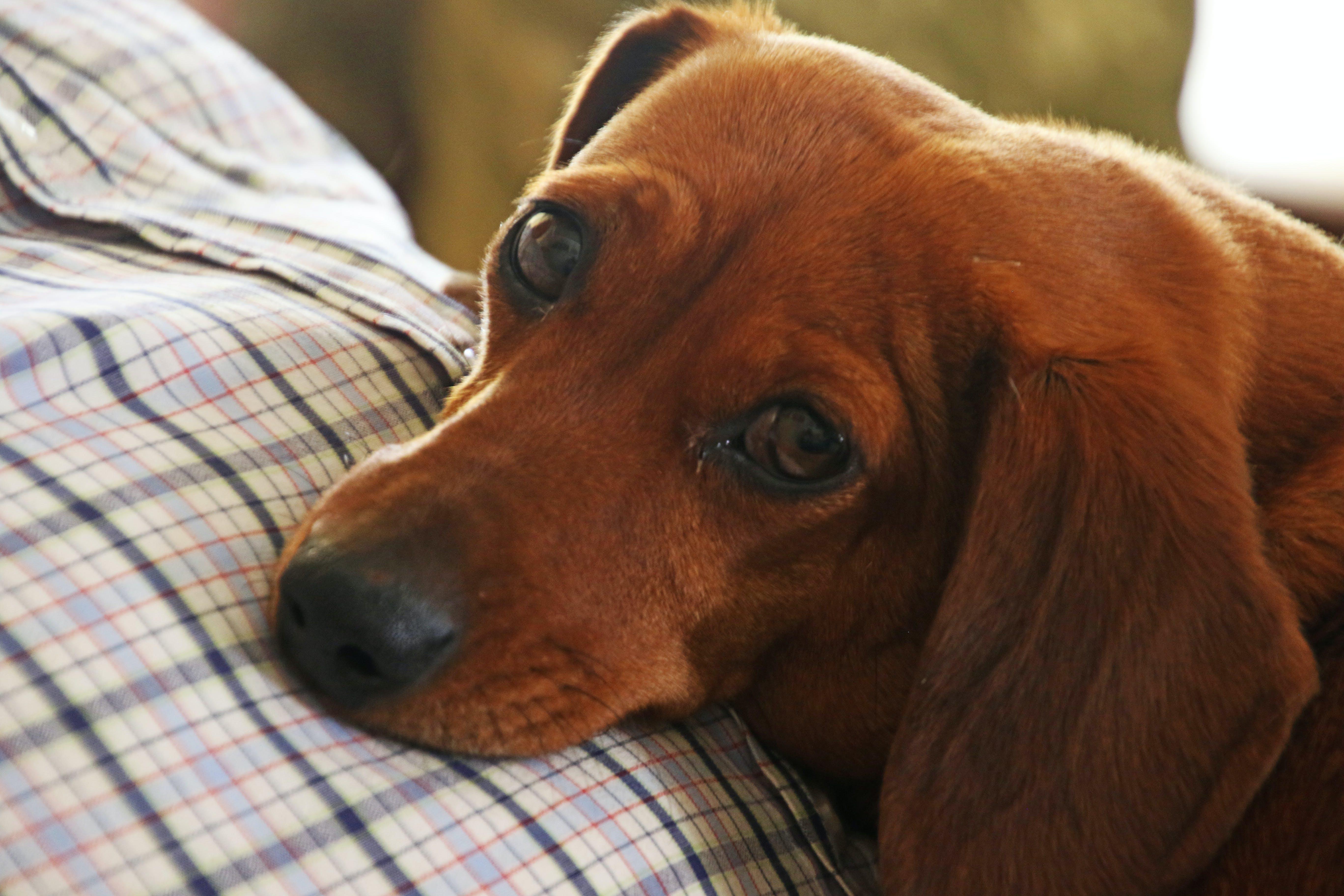 Δωρεάν στοκ φωτογραφιών με dachshund, αυτιά, βλέπω, γκρο πλαν
