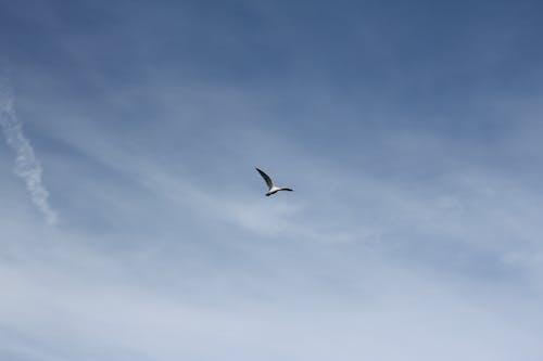 Fotobanka sbezplatnými fotkami na tému čajka, lietanie, obloha