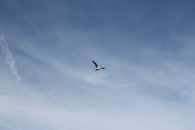sky, bird, flying