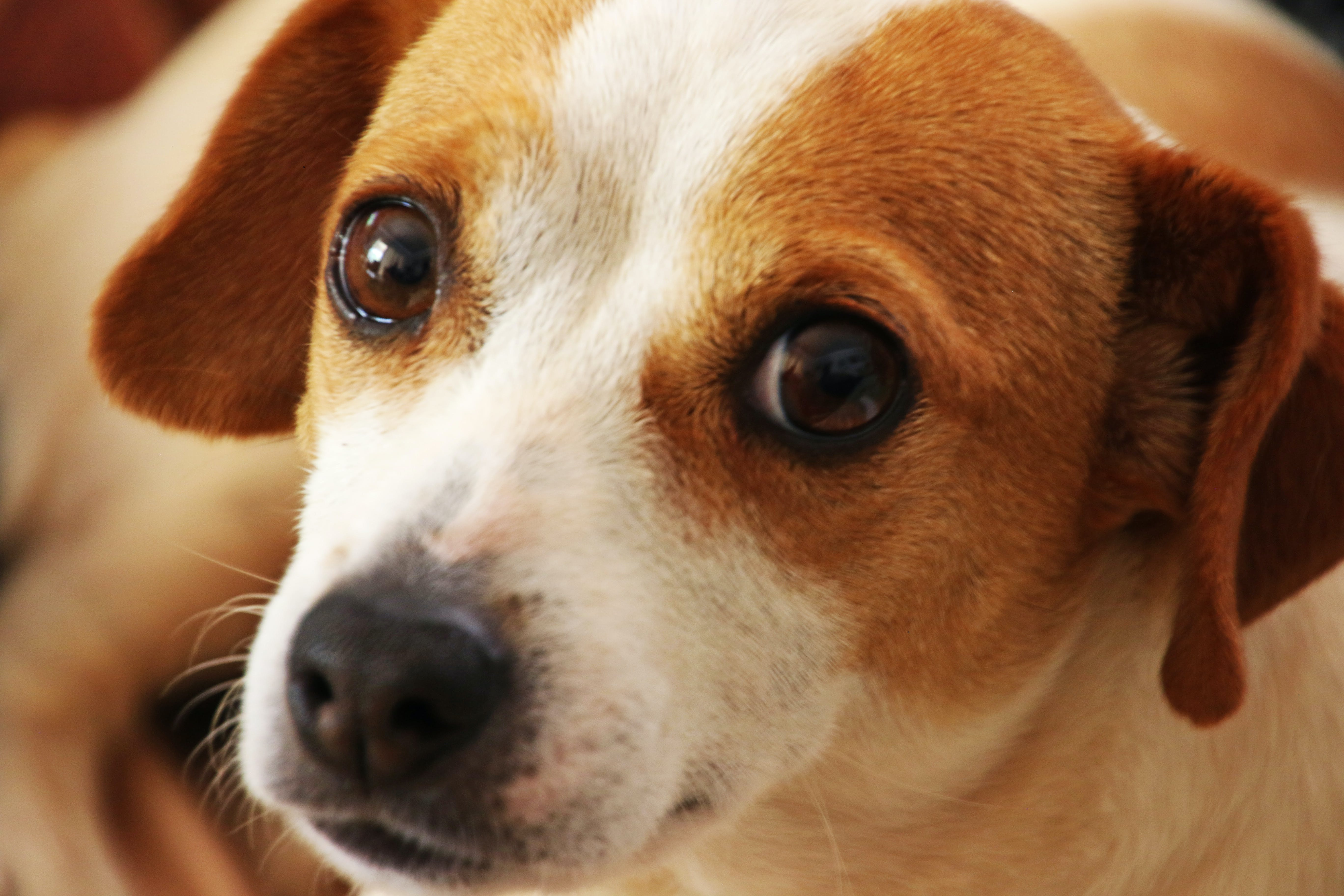 Close Up Photo of Short-coated Brown and White Dog