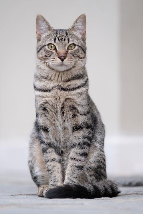 カメラ目線, かわいらしい, ネコの無料の写真素材