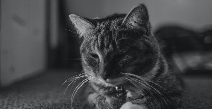 Free stock photo of animal, pet, cat, vsco