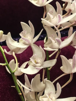 Free stock photo of orchids