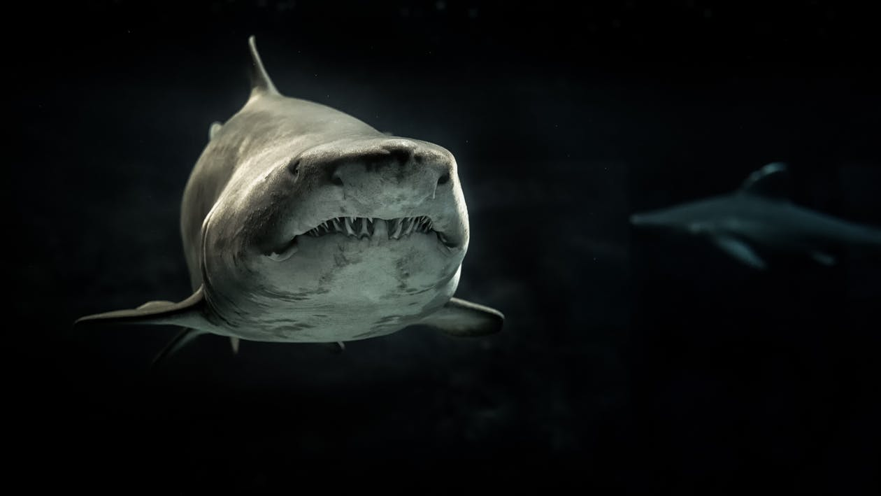 Selective Photo of Gray Shark