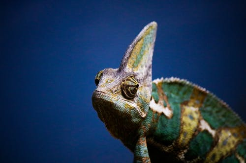 Green and Brown Chameleon on Blue Water