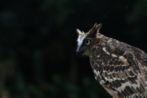 Free stock photo of bird, owl, wildlife