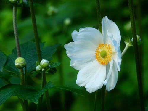 Free stock photo of anemone, early bloomer, flower