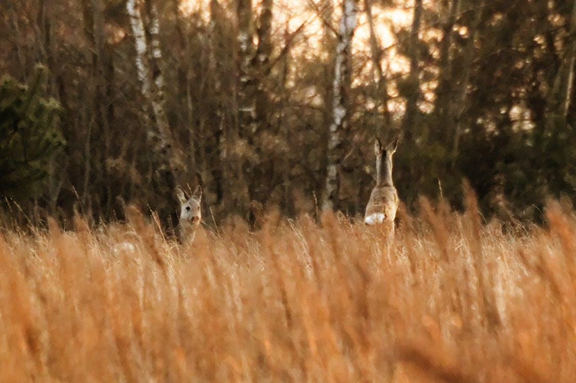 Free stock photo of deer, roe, roe deer