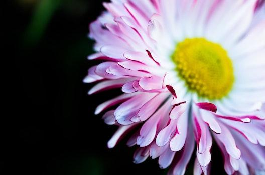 HD wallpaper of flower, pink, macro, bloom