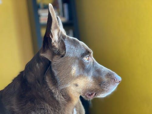 Free stock photo of animal portrait, dog, profile