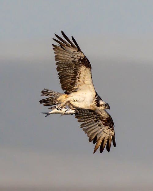 Wild predatory bird with gray spread wings soaring in sky with caught fish in claws in nature on summer day