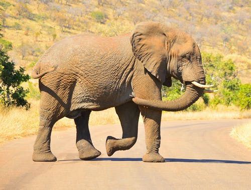 Gray Elephant with Brown Soil Smudged on Skin Walking on Road