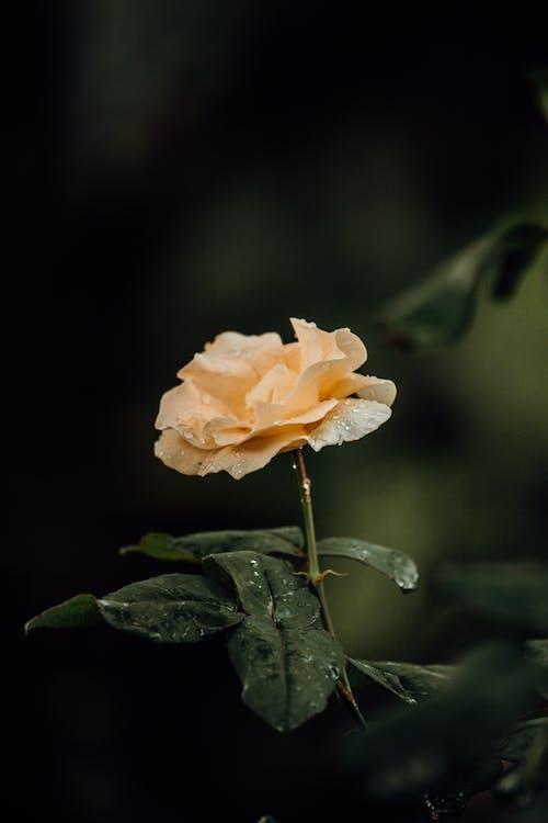 copy space, roseae, 곡선의 무료 스톡 사진