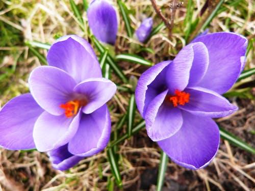 Kostenloses Stock Foto zu krokus, krokusse, violetten blüten