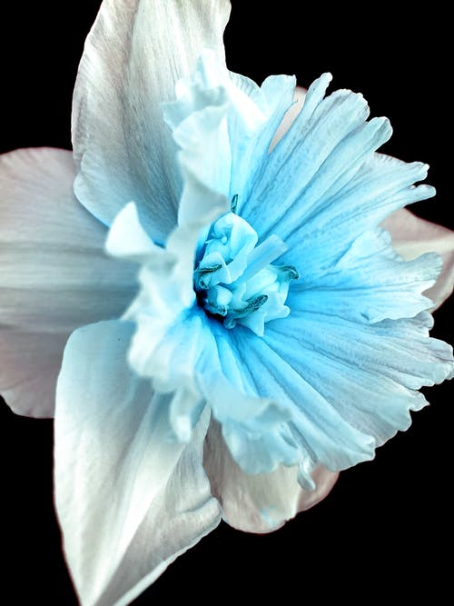White and Blue Narcissus