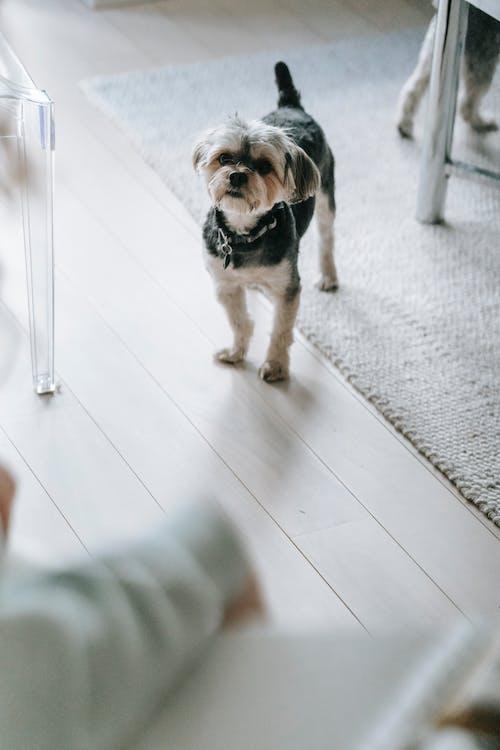 Black and White Short Coated Small Sized Dog