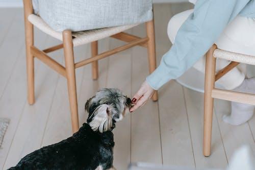 Faceless woman stroking morkie dog