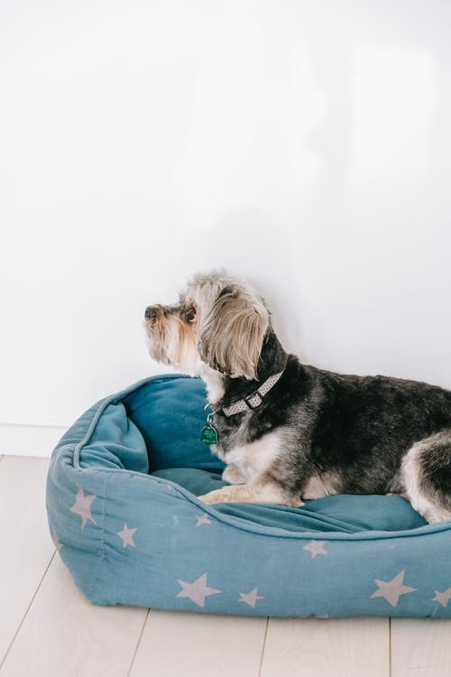 Side view of Morkie on dog bed placed on wooden floor near white wall
