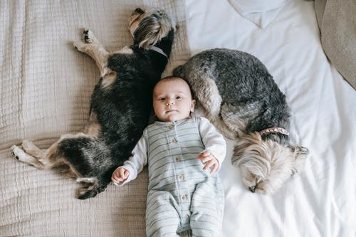 Overhead of cute little child and sleeping Morkies dogs on bed in daylight