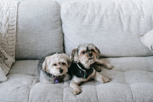 High angle of cute Morkie dogs lying on comfortable couch and looking away