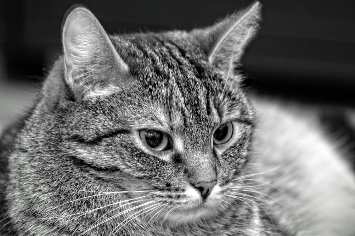 Greyscale Photo of Tabby Mix Cat