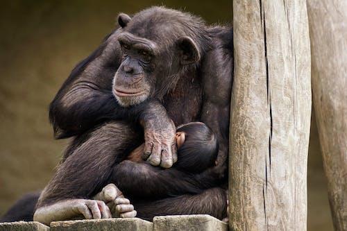 Close-Up Shot of a Chimpanzee