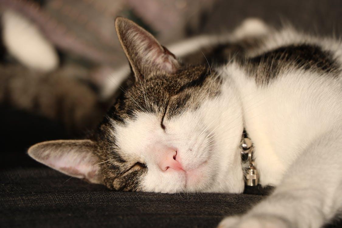 Free stock photo of cat, chill, sleeping