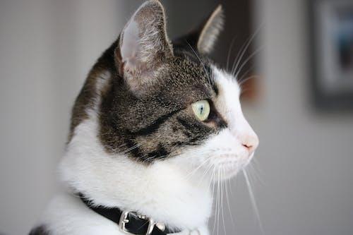 Free stock photo of Cat greeneyes cat, domestic cat, focus