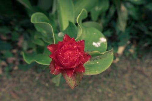 Ảnh lưu trữ miễn phí về akreker, cận cảnh, cánh hoa, Hawaii