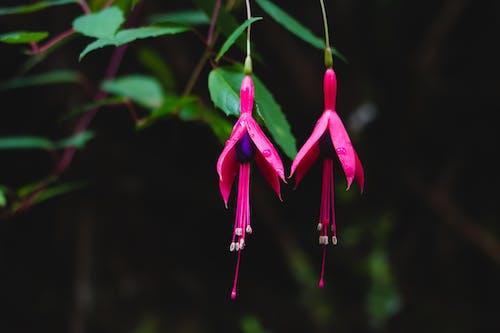 Ảnh lưu trữ miễn phí về akreker, cận cảnh, cánh hoa, fucsia