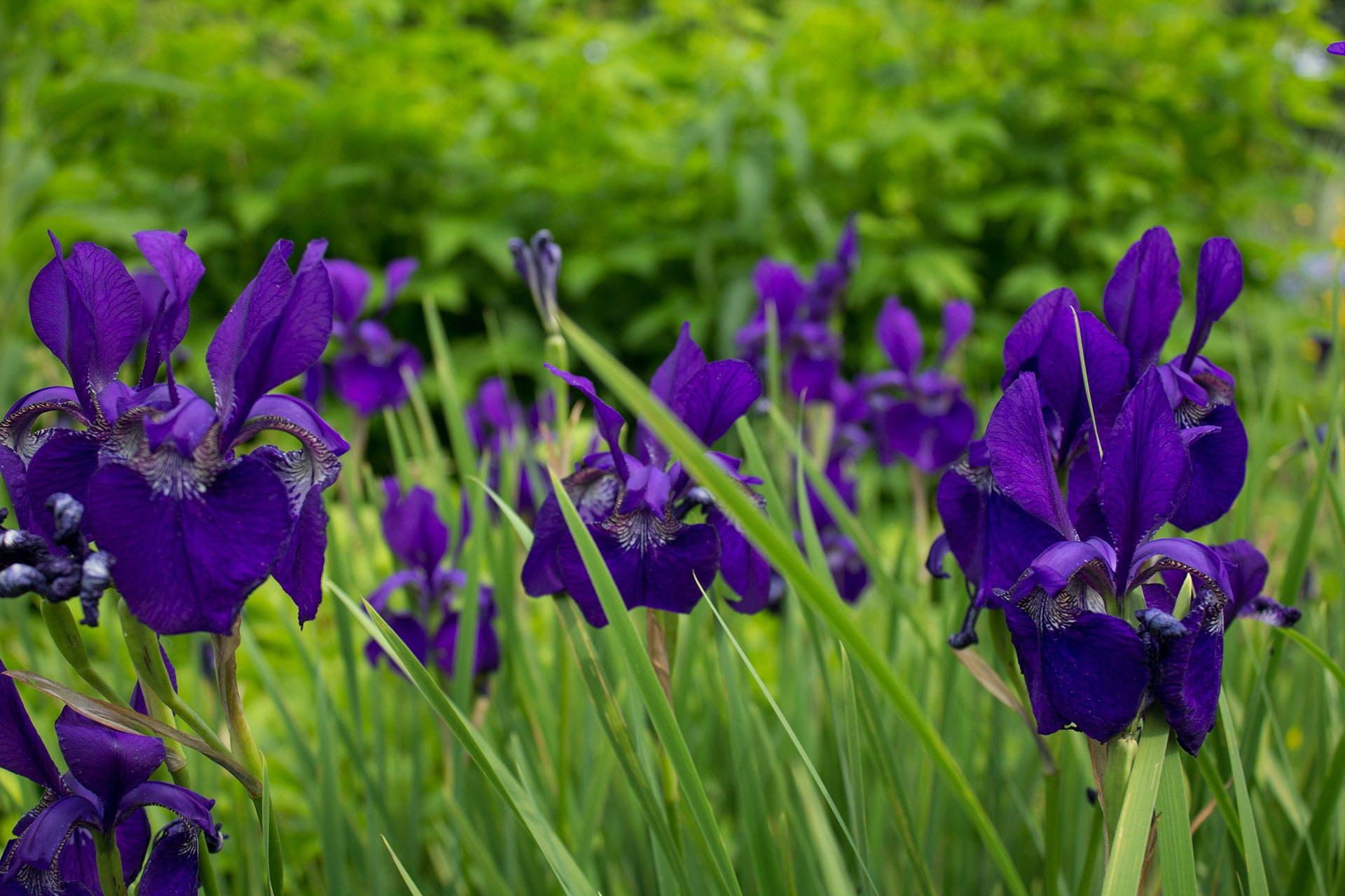 Selective Focus Photography of Iris Flowers