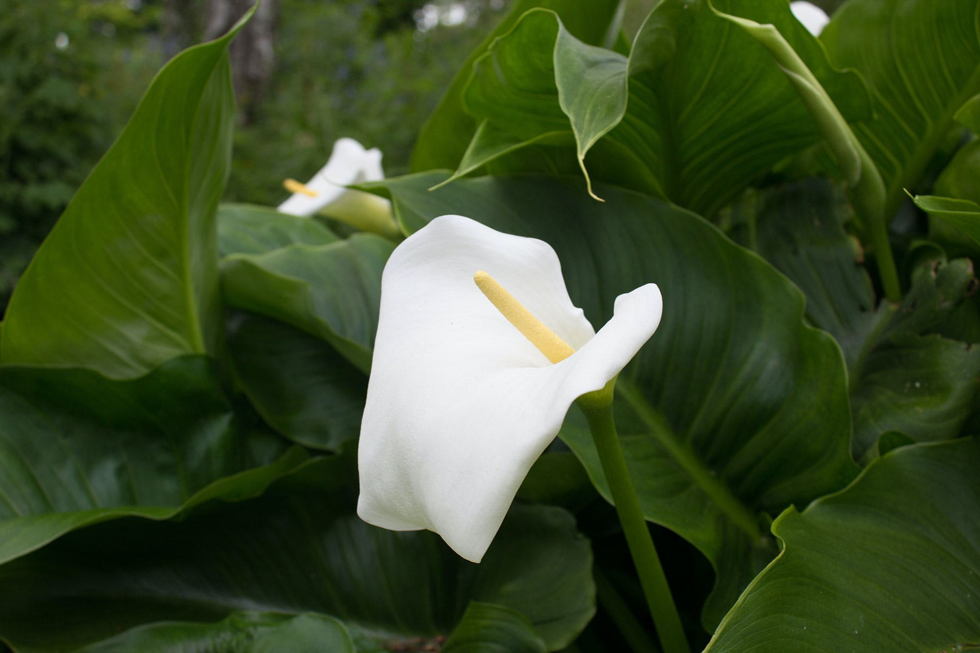 Close-up Photography of White Anthuruim Flower in Bloom