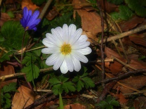 Darmowe zdjęcie z galerii z kwiat, roślina, wcześnie gafa