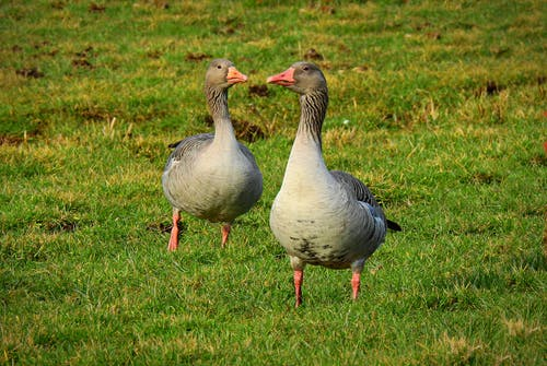Free stock photo of goose, water bird