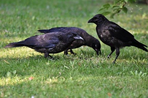 Black Crow on Green Grass