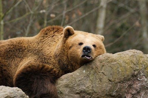 ヒグマ, 動物, 哺乳類の無料の写真素材