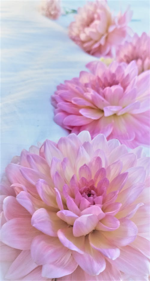 A Close-Up Shot of Pink Flowers