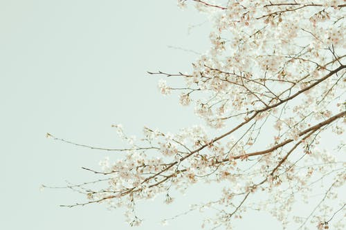 Twigs of blooming cherry tree with white flowers growing under bright cloudless sky in sunny day