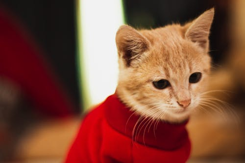 Orange Tabby Cat in Red Sweater