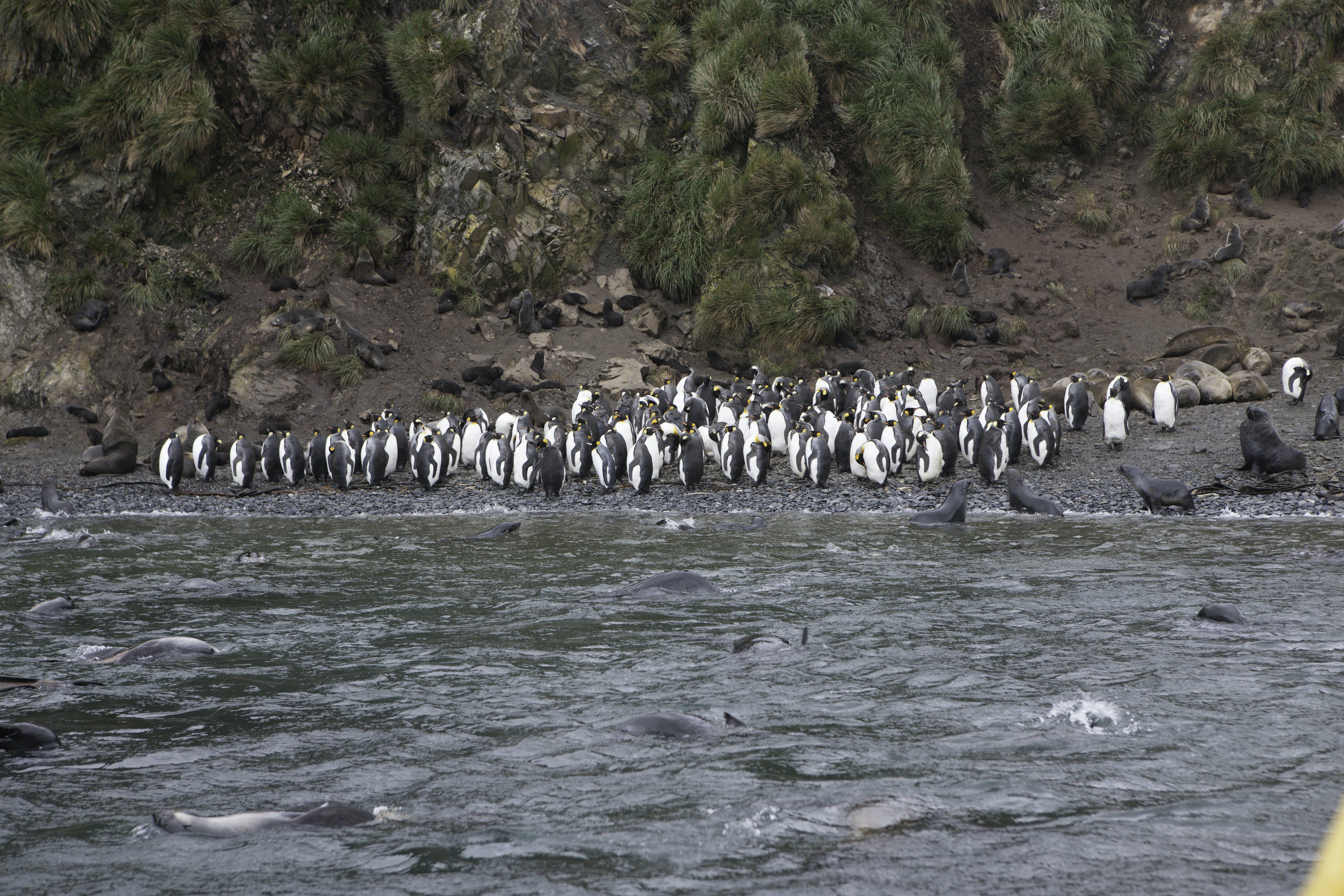 Free stock photo of animals, Antarctic fur seals, birds, Elsehul Bay