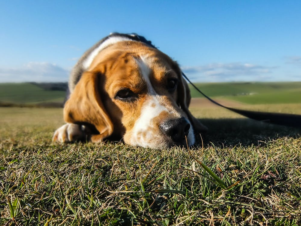 Focus Photography of Adult Tricolor Beagle on Green Grass