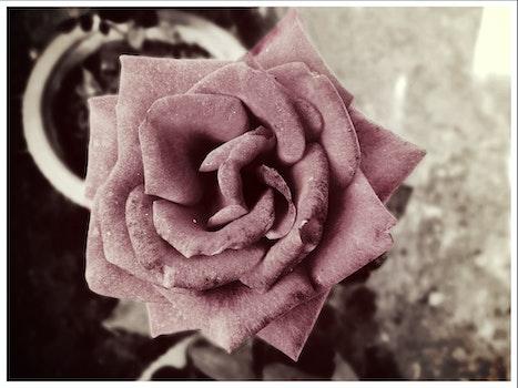 Free stock photo of flower, monochrome