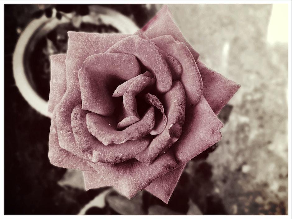 flower, monochrome