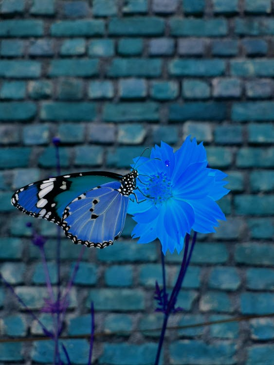 mavi çiçekler, mavi kelebek