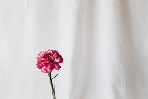 Základová fotografie zdarma na téma bílá, elegantní, flóra