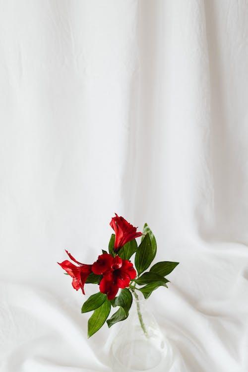 Základová fotografie zdarma na téma barva, bílá, červená