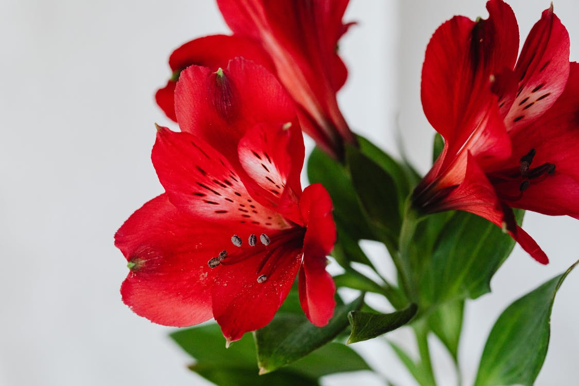 Red Flowers with Stamen