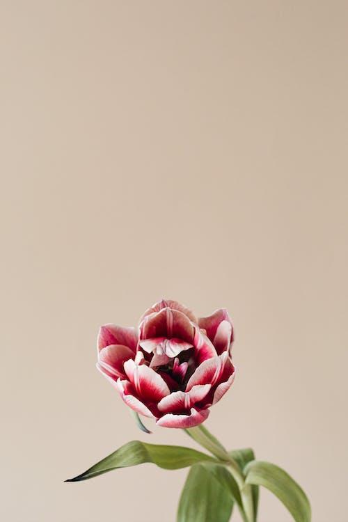 꽃, 꽃이 피는, 꽃잎의 무료 스톡 사진