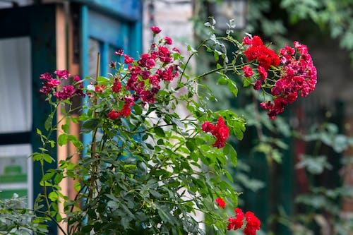 Free stock photo of flowers, pretty
